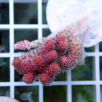 Acropora hyacinthus rose indonésie acro058
