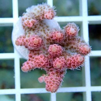 Acropora hyacinthus rose indonésie acro062