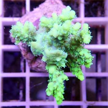 Acropora millepora acro088
