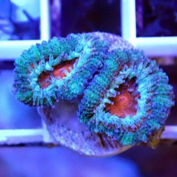 Acanthastrea lordhowensis ultra AL1079