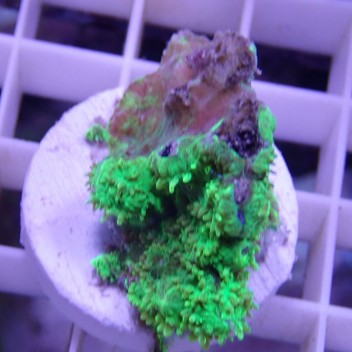 Hydnophora vert encroûtant hydno39