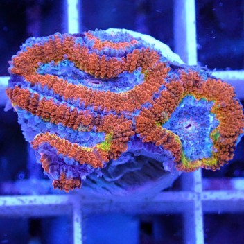 Acanthastrea lordhowensis AL1101