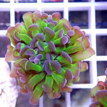 Euphyllia parancora euphy596