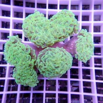Euphyllia parancora euphy615