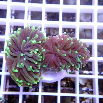Euphyllia glabrescens green torch euphy621