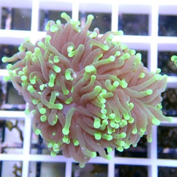Euphyllia glabrescens green torch euphy623