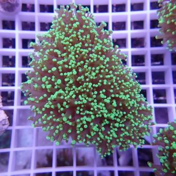 Euphyllia divisa vert ultra uphy628