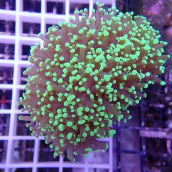 Euphyllia divisa vert ultra uphy627