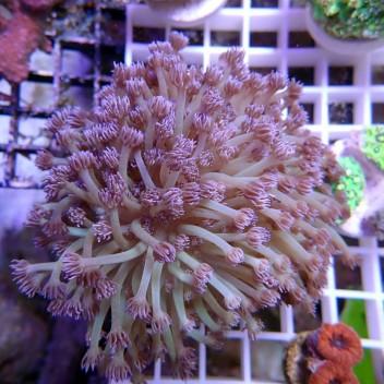 Goniopora rouge gonio26