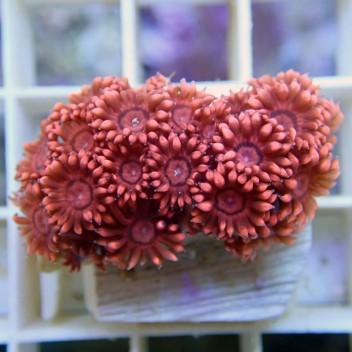 Goniopora rouge gonio27