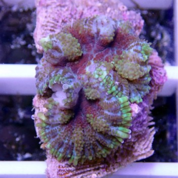Rhodacthis inchoata disco90