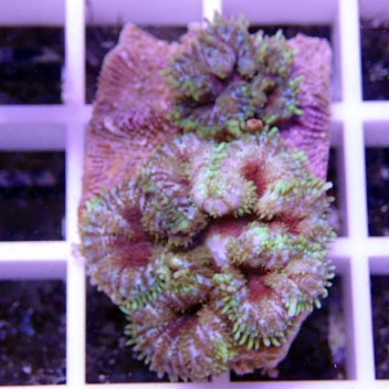 Rhodacthis inchoata disco92