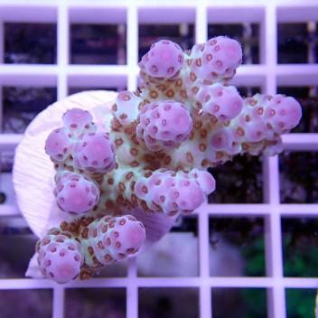 Acropora sarmentosa ultra acro162