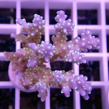 Acropora subulata tricolor acro191