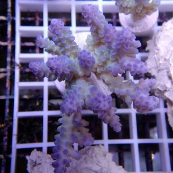 Acropora sp tricolor acro201