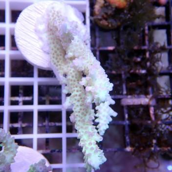 Acropora microclados acro232