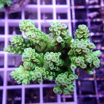 Acropora gemmifera acro258