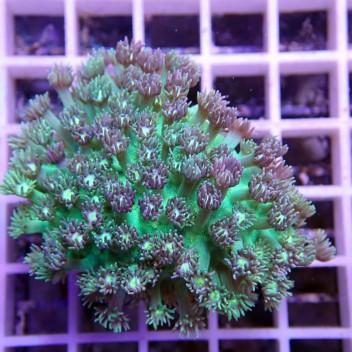 Goniopora vert bleu gonio31