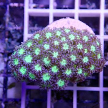 Goniopora vert bleu gonio33