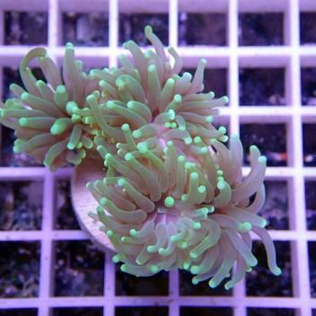 Euphyllia parancora uphy629
