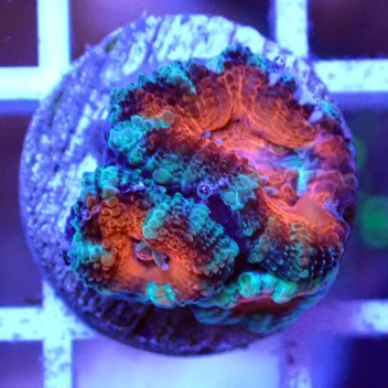 Acanthastrea lordhowensis AL1112