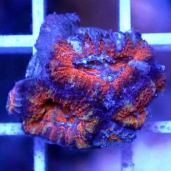 Acanthastrea lordhowensis AL1114