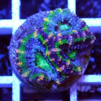 Acanthastrea lordhowensis AL1120