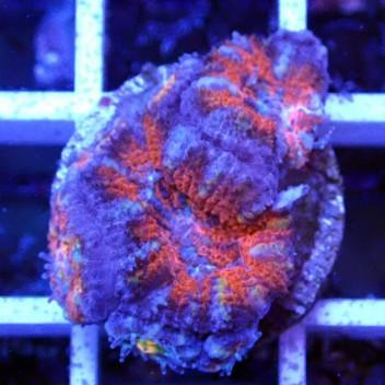 Acanthastrea lordhowensis AL1121