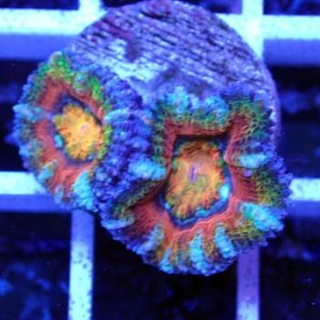 Acanthastrea lordhowensis AL1122