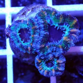 Acanthastrea lordhowensis AL1124