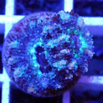 Acanthastrea lordhowensis AL1127