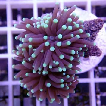 Euphyllia glabrescens euphy633
