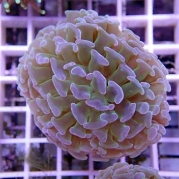 Euphyllia ancora euphy641