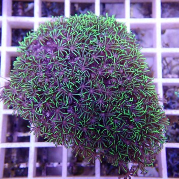 Pachyclavularia vert pachy58