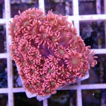 Goniopora rouge bouche verte claire gonio35