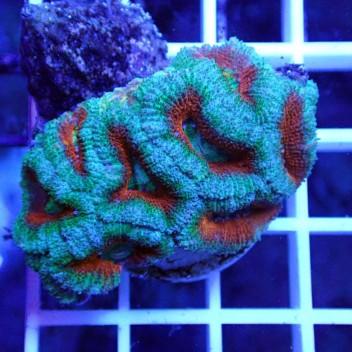 Acanthastrea lordhowensis AL1132