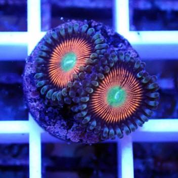 Zoanthus gobstopper Z009