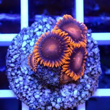 Zoanthus gobstopper Z010