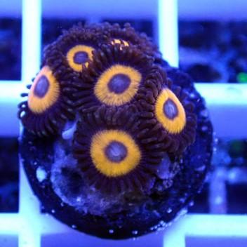 Zoanthus pumkin Z041