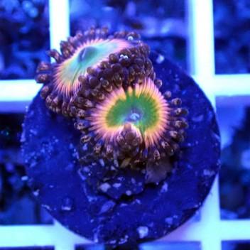 Zoanthus oxyde Z044