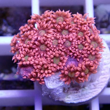 Goniopora rouge bouche verte claire gonio38