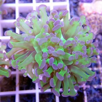 Euphyllia paradivisa euphy656