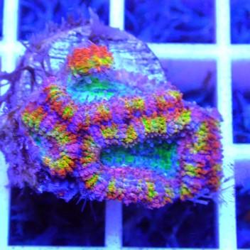 Acanthastrea lordhowensis rainbow AL1135