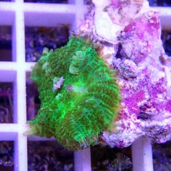 Rhodacthis vert disco95