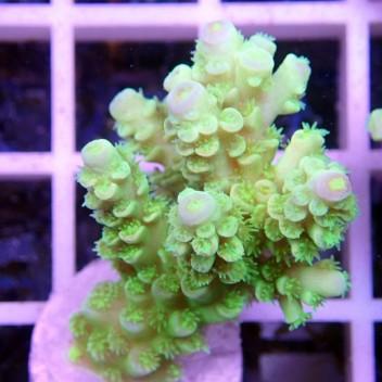 Acropora tenuis manala acro373