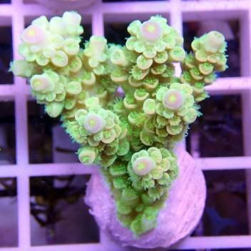 Acropora tenuis manala acro379