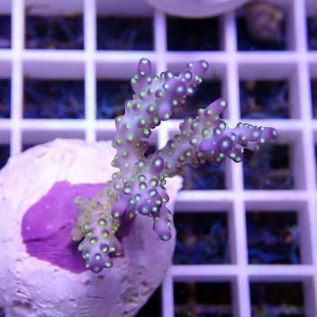 Acropora tenuis acro385