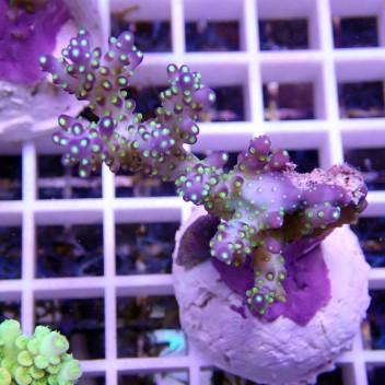 Acropora secale tricolor acro386