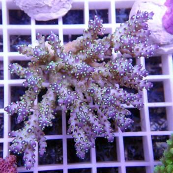 Acropora secale tricolor acro388