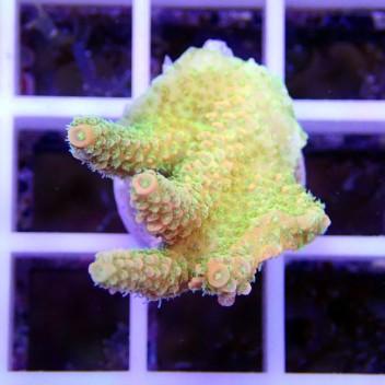 Acropora millepora goldfinger origine indonésie acro071